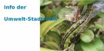 Tipps der Umweltstadträtin - Was tun gegen die Buchsbaum-Zünsler-Plage?